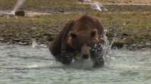 Large Dark Brown Grizzly Bear Repeatedly Dives After Salmon Finally Catches Fish Then Eats It In Middle Of River