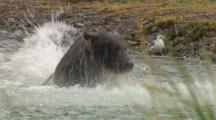 Big Dark Brown Grizzly Bear Dives Into River Toward Camera Comes Up Dripping Water From Muzzle Repeats