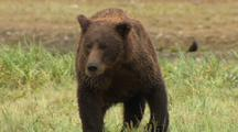 Brown Bear With Crooked Nose Walks Toward Camera Eats Fish While Another Bear Approaches And Urinates