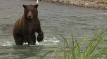 Alaska Brown Bear Stands On Rear Legs Looking For Salmon In River