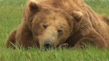Big Brown Bear Old Boar Scarred Up Old Bruiser Sleeps In Green Grass Faces Camera Scar On Nose