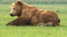 Huge Brown Bear Old Boar Scarred Up Old Bruiser Laying On Stomach Rolls Over On Side