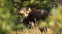 Zoom To Bull Moose In Forest During Breeding Season Alaska