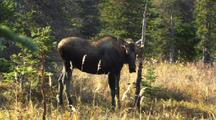 Pan Rack Focus To Young Bull Moose Rubbing Antlers On Tree In Alaska Autumn