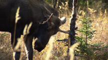 Tilt Down From Shaking Tree Top To Young Moose Rubs Bloody Antlers On Tree In Alaska Autumn