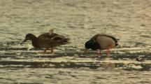 Drake And Hen Mallard Walking Foraging On Frozen Bit Of Sea Water