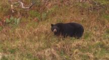 Cineflex Bear Stock Footage