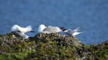 Slow Motion From Boat Tern And Gull Species Groom While Perched On Intertidal Rock With Mussels And Seaweed