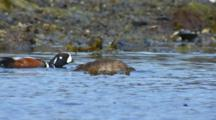 Slow Motion From Boat Male And Female Harlequin Duck Forage In Intertidal