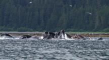 Humpback Whales Bubble Net Feeding In Southeast Alaska, Shot From Boat With Cineflex