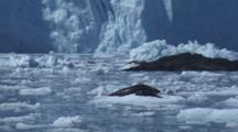 Mother And Pup Harbor Seal Rest On Ice Berg In Front Of Blue Glacier Face On A Sunny Day