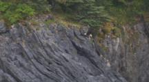 Bald Eagle Flies From Cliff, Carrying Fish, Lands On Cliff Edge Of Forest