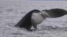 Humpback Whale Dives Shows Tail Fluke With Kelp Growing On Tips Exnice