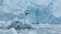 Bald Eagle Flies In Front Of Blue Glacier Lands On Ice Beautiful Motion And Color