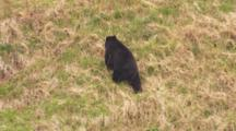 Black Bear Stands On Grassy Slope Along Rocky Alaska Coast Then Goes Back To Grazing As Camera Zooms In