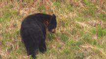 Black Bear Grazes On Steep Grassy Slope