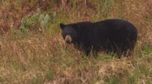 Medium Shot Black Bear Stands On Grassy Slope Along Alaska Coast