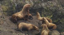 Tight On Stellar Sea Lion Antics Flopping Around And Grunting And Socializing On Coastal Rocks