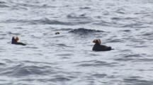Medium Shot Group Of Tufted Puffins Float On Ocean Surface