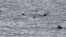 Tufted Puffins Float In And Out Of Sight On Ocean Swell