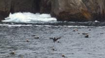 Tufted Puffins Float On Ocean Swells, Waves Crash Against Cliffs In Background
