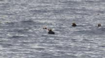 Slow Motion Tufted Puffins Swim And Float On Ocean Swells