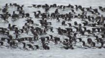 Dense Flock Of Murres Float On Ocean Swell Panic And Dive Below Surface