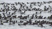 Exnice Dense Flock Of Murres Ride Ocean Swell