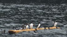 Slow Motion Murres Clammer Onto Floating Log