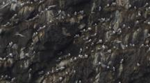 Push To Seabird Rookery On Rocky Cliff Alaska Coast