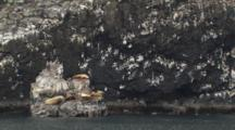 Sea Lions Rest On Rock In Front Of Seabird Rookery On Face Of Cliff