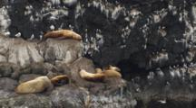 Kittiwakes Circle Around Rookery On Cliff Face Tilt Down To Sea Lions Resting On Rock