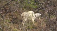 Mother Mountain Goat And Kid Eating In Bushes On Rocky Coastal Ledge