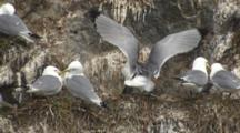 Close Shot Of Black Legged Kittiwakes On Cliff Face Appears To Be Mating Behavior