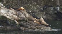 Big Steller Sea Lion Bull Lords Over Small Cows On Rocky Coast
