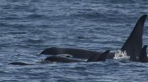 Exnice Tight On Pod Of Killer Whales Surface For Air Along Alaska Coast
