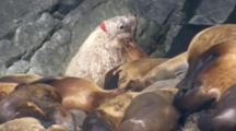 Tight Shot Of Stellar Sea Lion Bull With Large Gash On Back Of Head