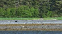 Tilt Down From Forest To Reveal Black Bear Standing On Alaska Coast Past Kelp Covered Rocks In Intertidal Zone