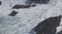 Aerial Shot Of California Sea Lion As It Makes Its Way Through Foam And Crashing Waves Off Rookery On Farallon Islands