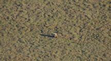 Arctic Aerial Cineflex Golden Brown Bear Follows Long Shadow Across Barren Tundra