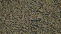 Arctic Aerial Cineflex Golden Brown Bear Follows Long Shadow Across Tundra Pull To Wide Shot Of Barren Tundra Landscape