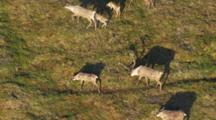 Arctic Aerial Cineflex Golden Light Long Shadows Caribou Stop To Graze On Tundra Pull To Wide Shot Of Barren Landscape