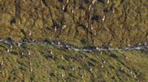 Arctic Aerial Cineflex Thousands Of Caribou Migrate Across Tundra Tight As They Cross Small Stream Pull To Wide Shot Of Landscape