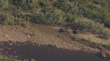 Moose Mother And Twin Calves Rest Near River In Alder Scrub