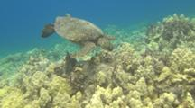 Turtle Looking For Food