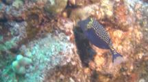 Male Spotted Boxfish Feeding