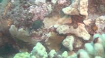Female Spotted Boxfish On Reef