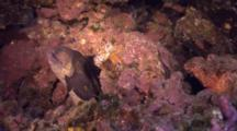 Yellowmargin Moray Eel And Titan Scorpionfish