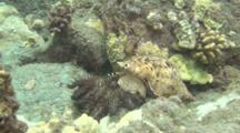 Trident Trumpet Feeds On Crown-Of-Thorns Starfish