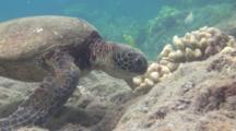Sea Turtle Feeds On Top Of Reef